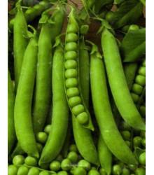 Hrách setý dřeňový Senator - Pisum sativum - prodej semen - 50 ks