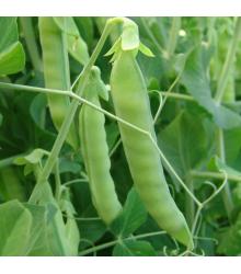 BIO Hrách cukrový Ambrosia - Pisum sativum - prodej BIO semen - 65 ks
