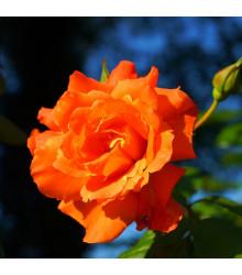 Růže velkokvětá oranžová - Rosa - prodej prostokořenných sazenic růží - 1 ks