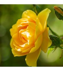 Růže velkokvětá žlutá - Rosa - prodej prostokořenných sazenic růží - 1 ks