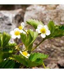 Jahodník Pineberry - Fragaria ananassa - prodej prostokořenných sazenic jahodníků - 2 ks