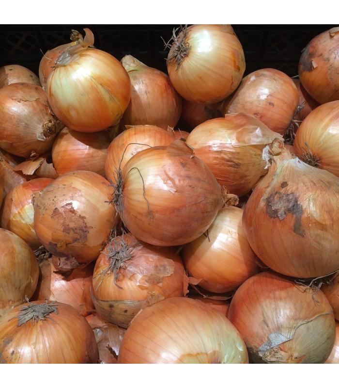 Cibule sazečka Sturon - Allium cepa - prodej cibulek - 100 g