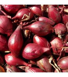 Cibule sazečka Romy - Allium cepa - prodej cibulek - 500 g