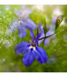 Lobelka drobná Riviera Marine Blue - Lobelia erinus - prodej semen lobelky - 0,1 g