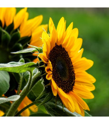 Slunečnice Mezzulah - Helianthus annuus - prodej semen slunečnice - 8 ks