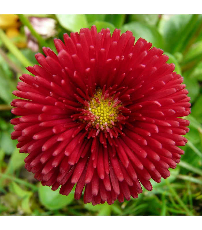 Sedmikráska chudobka Tasso červená - Bellis perennis - prodej semen sedmikrásky - 50 ks